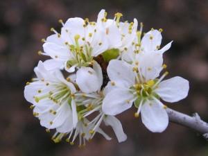 Fiore di Crataegus oxiacantha (biancospino) - Foto di Gian Mario Navillod.