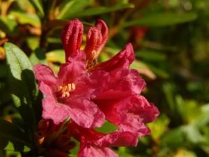 Rododendro - Rododendron ferrugineum - Foto di Gian Mario Navillod.