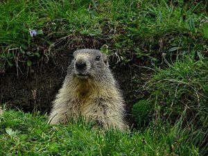 La marmotta (Marmota marmota) del Lago Miserin - Foto di Gian Mario Navillod.